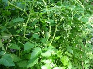 wachsenlassen-Tomaten4